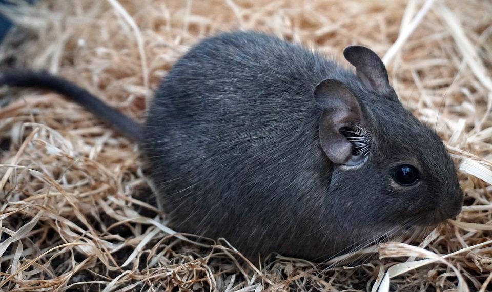 Degu Kafig Artgerechte Haltung Und Kauftipps Heimtiere Online