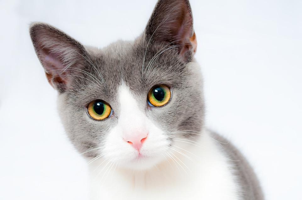 Rinderfettpulver für Katzen